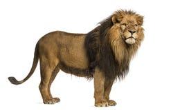 狮子身分的侧视图,豹属利奥, 10岁 免版税库存图片