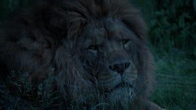 狮子轮和在晚上查寻 股票视频