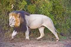 狮子通过 免版税库存照片