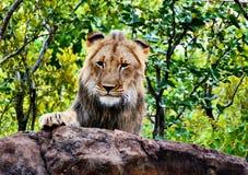 狮子遭遇,津巴布韦 库存照片