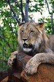 狮子遭遇 库存照片