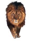 狮子问好被隔绝在白色 免版税库存图片