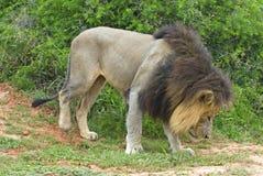 狮子闻 免版税库存图片