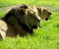 狮子雌狮 图库摄影