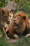 狮子雌狮 免版税库存图片