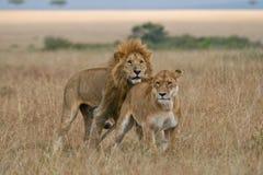 狮子雌狮 库存图片