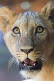 年轻狮子面孔 图库摄影