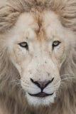 狮子面朝上的关闭 免版税库存图片