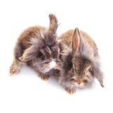 狮子顶头兔子bunnys坐被隔绝的背景 库存照片