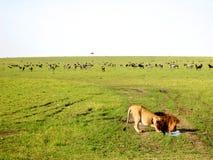 狮子饮用水 免版税图库摄影