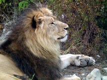 狮子骄傲地调查距离 图库摄影
