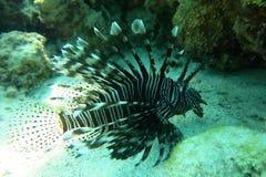 狮子鱼在红海 免版税库存照片