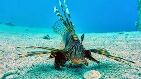 狮子鱼在红海 库存图片