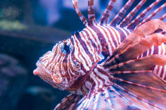 狮子鱼在黑暗的水中 免版税库存照片