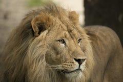 狮子,特写 免版税库存照片