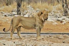 狮子,非洲人-从非洲的野生生物背景-格式掠食性动物  免版税库存照片