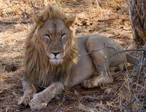 狮子, Madikwe比赛储备 免版税图库摄影