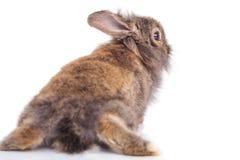 狮子头兔子兔宝宝说谎的后面看法 免版税库存照片