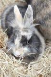 年轻狮子头兔宝宝 图库摄影