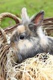 年轻狮子头兔宝宝 免版税图库摄影