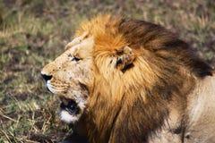 狮子-徒步旅行队肯尼亚 免版税库存图片