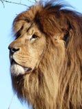 狮子-男性 免版税库存照片
