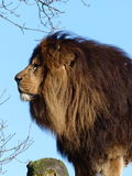 狮子-男性 免版税图库摄影