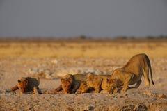 狮子组装喝一杯 免版税库存图片