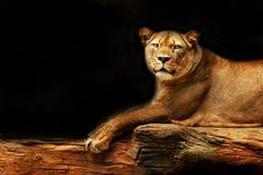 狮子 说谎在一个岩石的雌狮有看在眼睛的黑背景 免版税库存图片