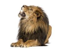狮子说谎,咆哮,豹属利奥, 10岁 免版税库存照片