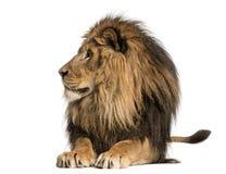 狮子说谎,看,豹属利奥, 10岁 免版税库存图片