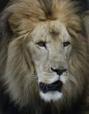 狮子画象  免版税图库摄影