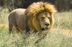 狮子(豹属利奥)在克留格尔国家公园 图库摄影
