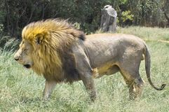 狮子(豹属利奥)在克留格尔国家公园 免版税库存照片