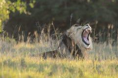 狮子(豹属利奥)打呵欠 免版税库存照片