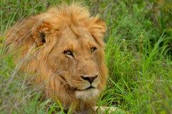 狮子(豹属利奥),克留格尔国家公园。 免版税图库摄影