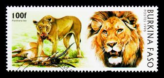 狮子(豹属利奥),狂放的猫serie,大约1986年 图库摄影