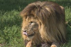 狮子(豹属利奥) 免版税库存图片