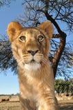 狮子年轻人 免版税图库摄影