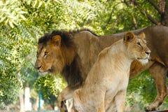 狮子&雌狮 库存图片