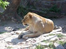 狮子 免版税图库摄影