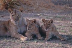狮子 库存照片