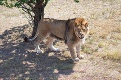 狮子IV 库存图片