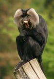 狮子liontail被盯梢的短尾猿猴子 免版税库存图片