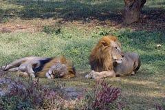 狮子lookin边方式,当其他狮子采取休息时 免版税库存照片