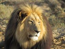 狮子Panthero利奥 免版税库存图片