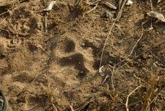狮子pawprint 库存图片