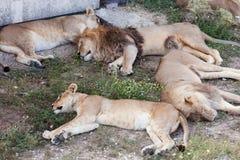 狮子VI 库存照片