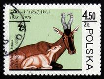 狷羚caama,大约1978年 免版税图库摄影