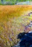 狸藻在湿沙子,它的delphinoides Thor.ex Pell.flower (LETRIBULARIACEAE)绽放绽放在Mukdahan国家公园,泰国 前佩尔 晴朗的花开花和 免版税库存照片